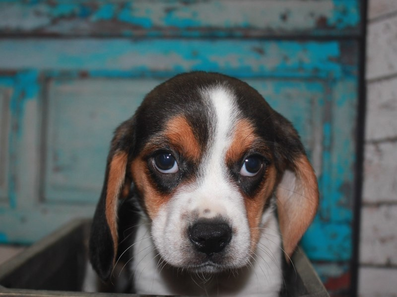 Beagle-Female-TRI-2662623-Pet City Houston