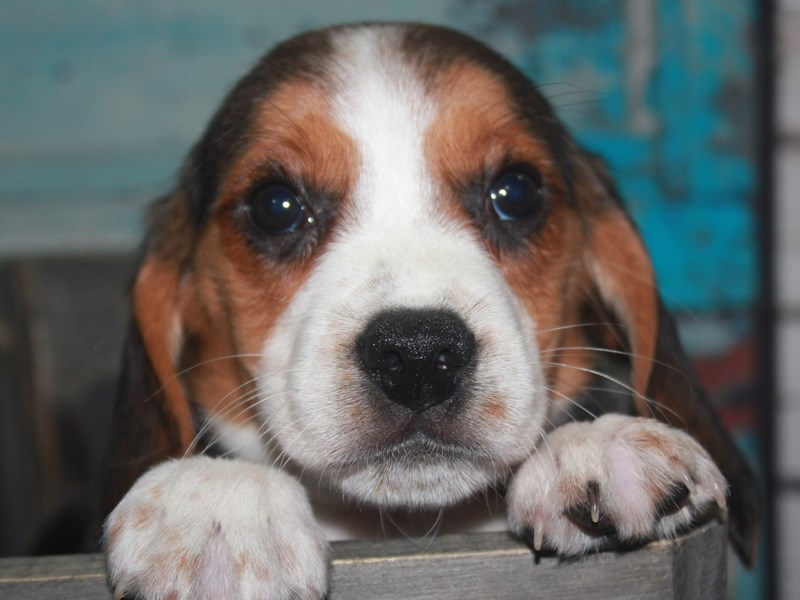 Beagle-Female-TRI-2662624-Pet City Houston