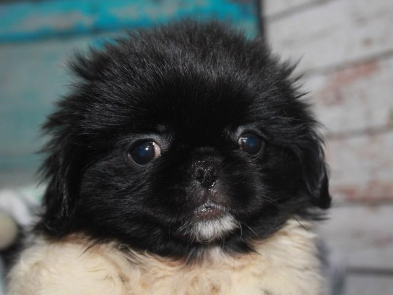 Pekingese-Female-BLK/ WHITE-2662580-Pet City Houston