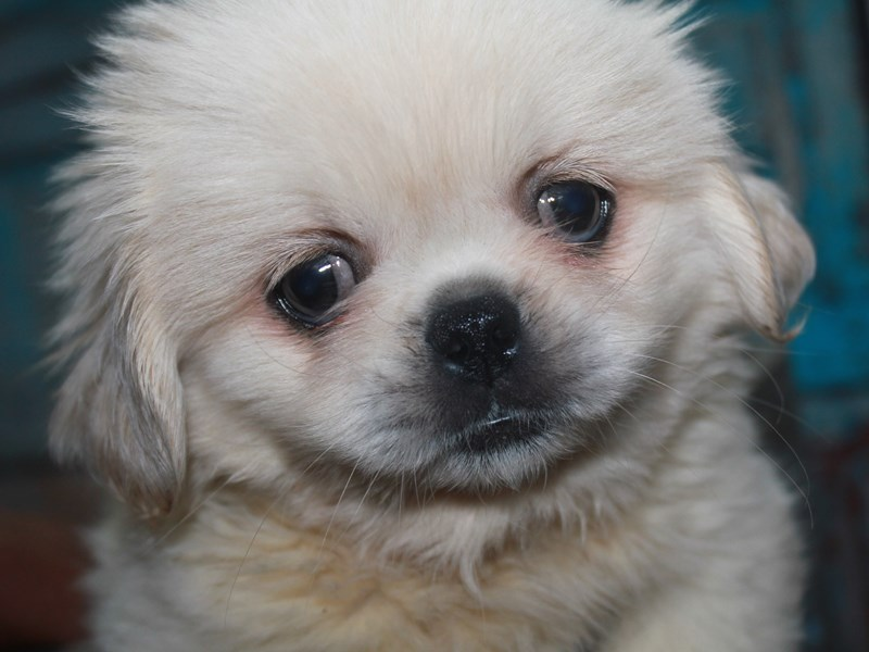 Pekingese-Male-CREAM-2662599-Pet City Houston
