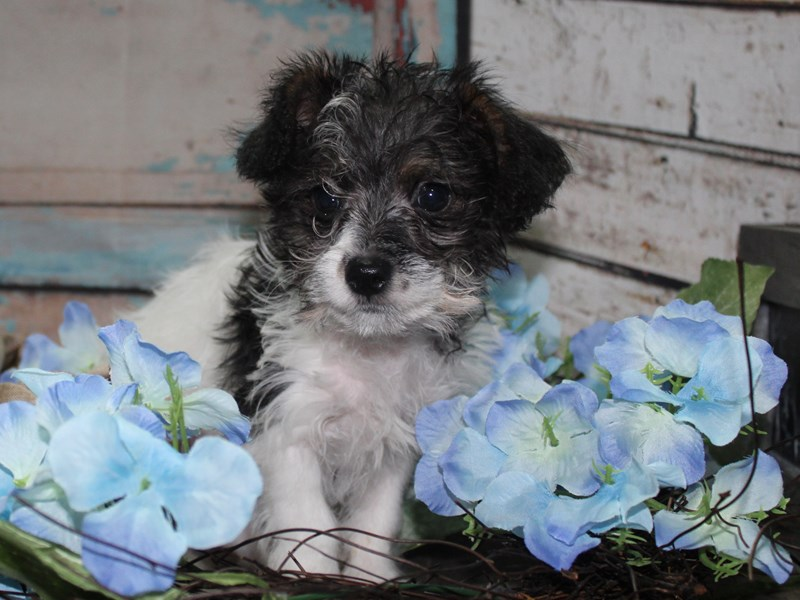 Yorkiepoo-Male-Blk/ White-2662573-Pet City Houston