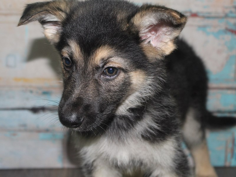 German Shepherd-Male-BLK / TAN-2662614-Pet City Houston