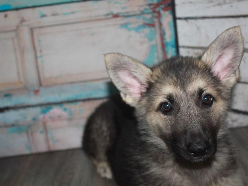 German Shepherd-Male-BLK/TAN-2662605-Pet City Houston