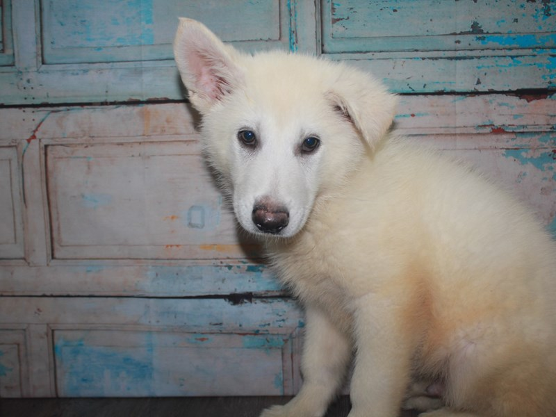 German Shepherd-Male-White-2662603-Pet City Houston