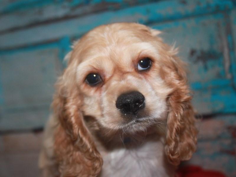 Cocker Spaniel-Male-Tan-2662567-Pet City Houston