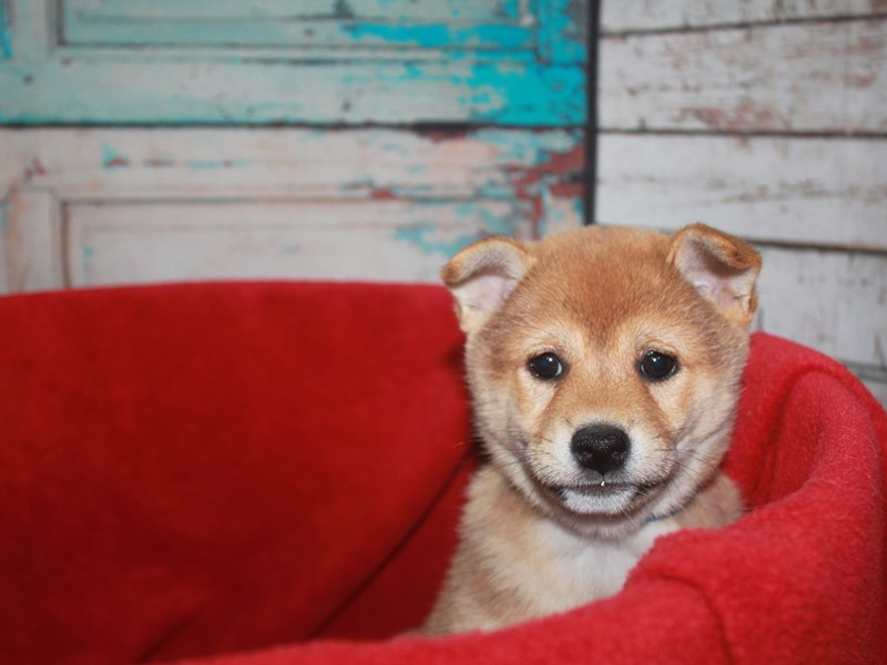 Shiba Inu-Male-RED-2668788-Pet City Houston