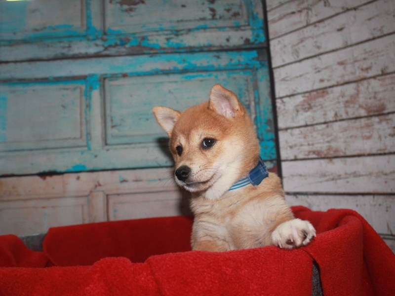 Shiba Inu-Male-RED-2668790-Pet City Houston