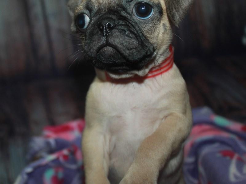 Pug-Female-FAWN-2670172-Pet City Houston
