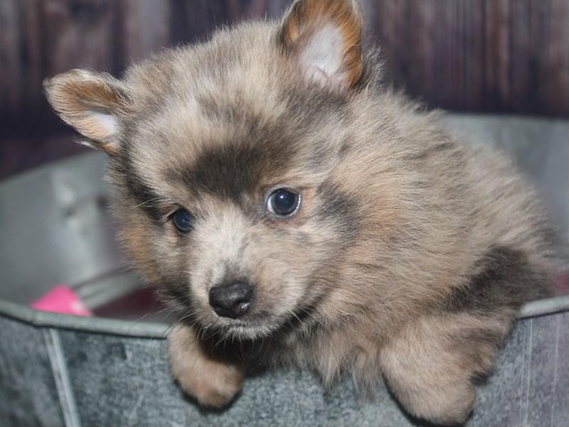 Pomeranian-Male-BLUE MERLE-2670186-Pet City Houston