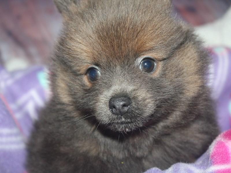Pomeranian-Female-BLUE FAWN-2670189-Pet City Houston