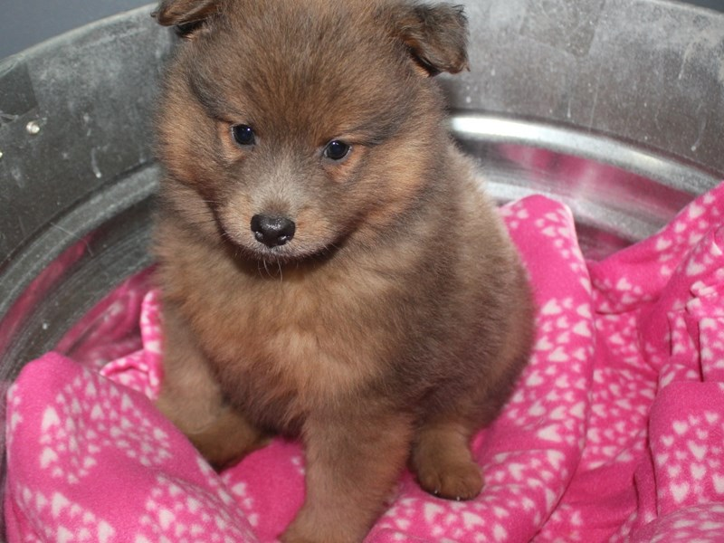 Pomeranian-Male-BLUE FAWN-2670178-Pet City Houston