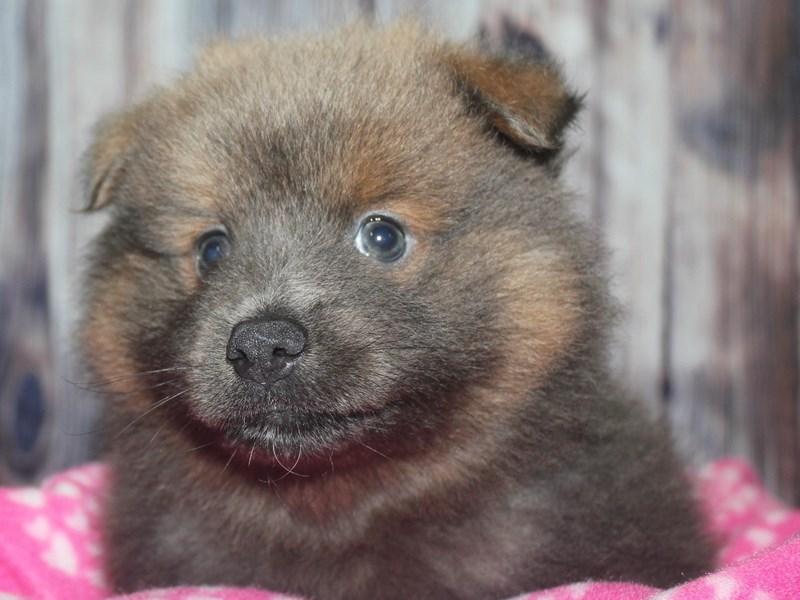 Pomeranian-Male-BLUE FAWN-2670183-Pet City Houston