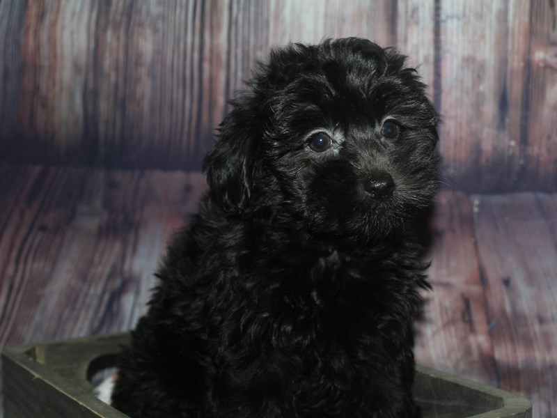 Yorkipoo-Female-BLK-2675299-Pet City Houston