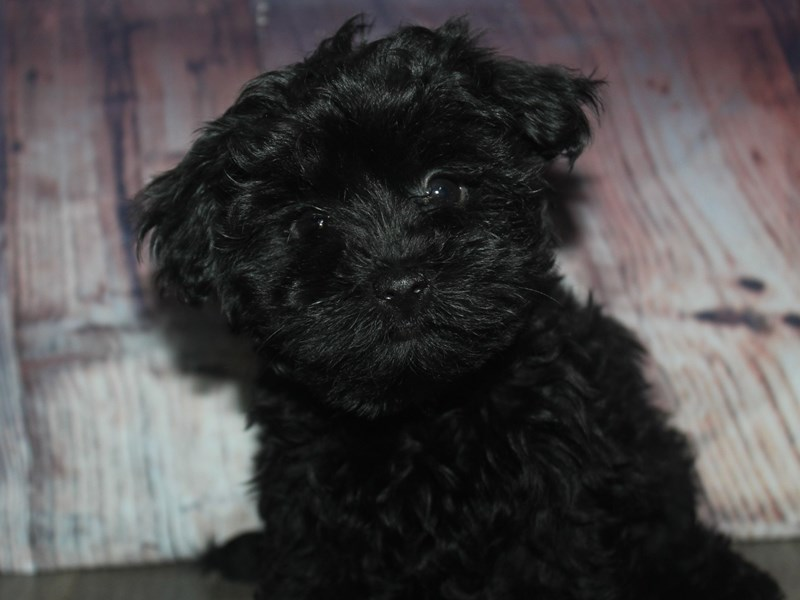 Yorkipoo-Female-BLK-2675301-Pet City Houston