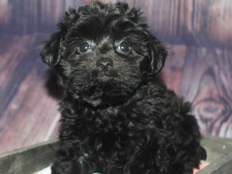 Yorkipoo-Female-BLK-2675303-Pet City Houston