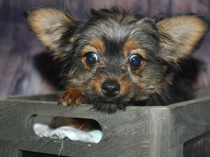 Chorkie-Male-BLK/ TAN-2675235-Pet City Houston