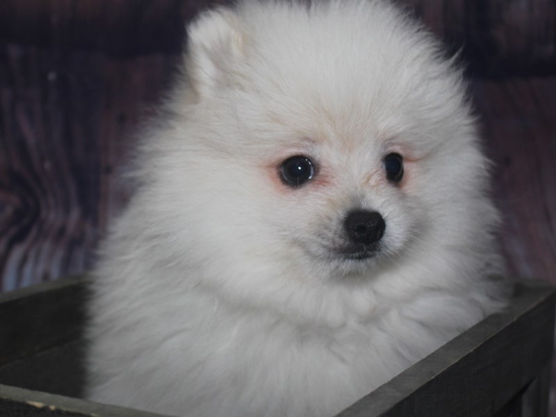 Pomeranian-Male-WHITE-2675292-Pet City Houston