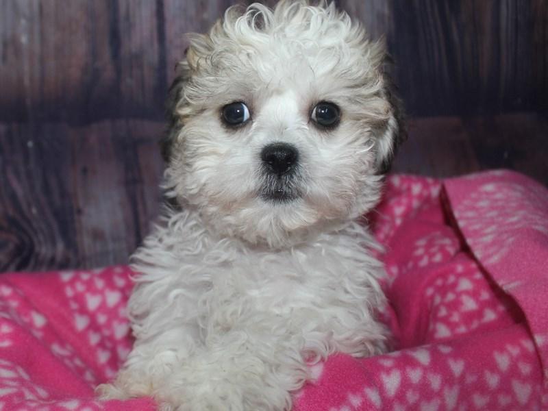 Teddy Bear-Female-GLD WHITE-2675321-Pet City Houston