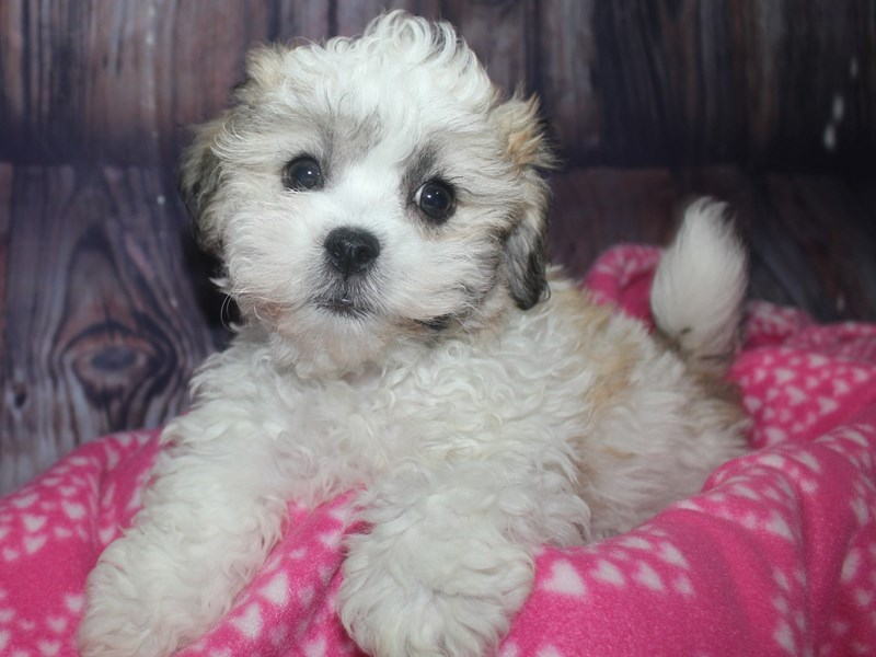 Teddy Bear-Male-GLD WHITE-2675319-Pet City Houston