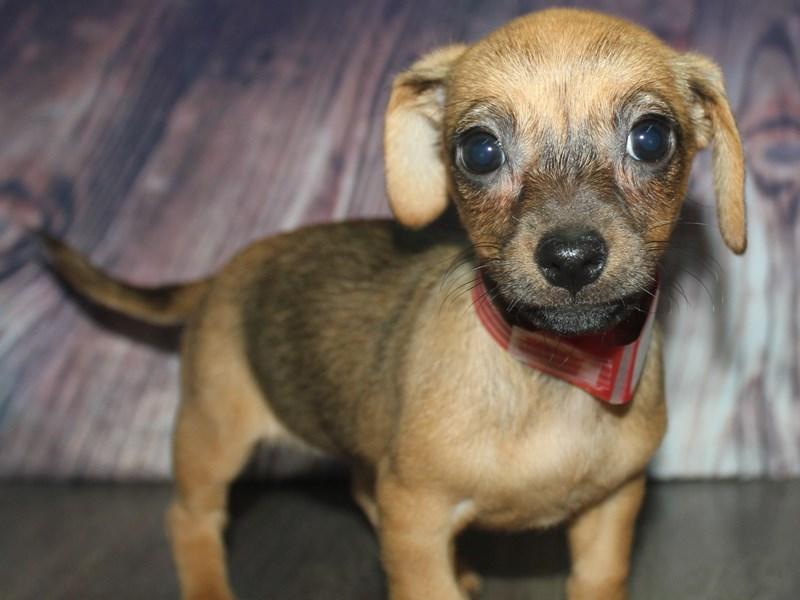 Chiweenie-Female-SABLE-2676537-Pet City Houston