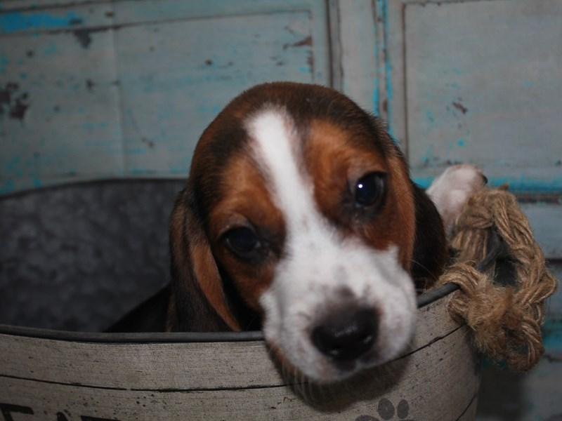 Beagle-Male-TRI-2681599-Pet City Houston