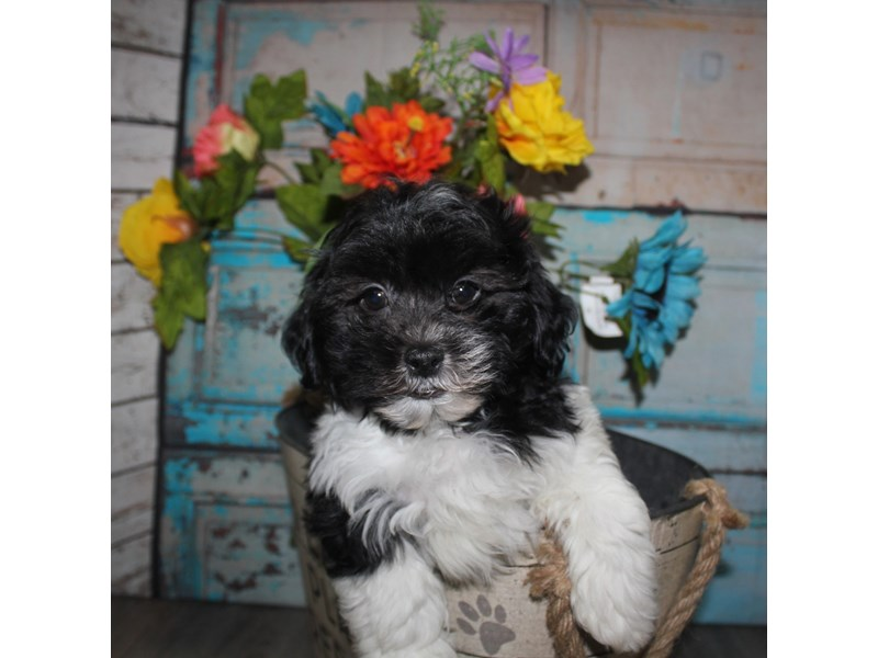 Shihpoo-Male-BLK & WHT-2681500-Pet City Houston