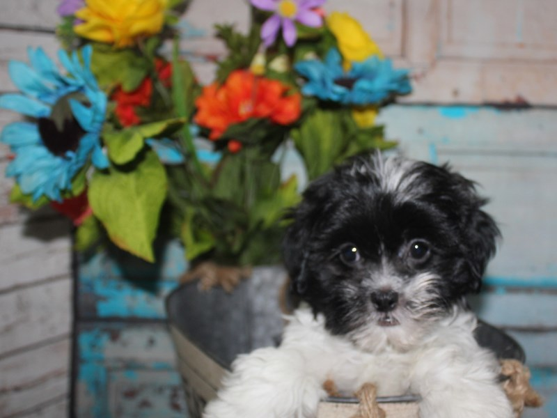 Shihpoo-Female-BLK & WHT-2681502-Pet City Houston