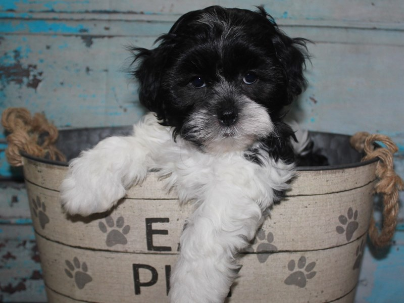 Shihpoo-Male-BLK & WHT-2681497-Pet City Houston