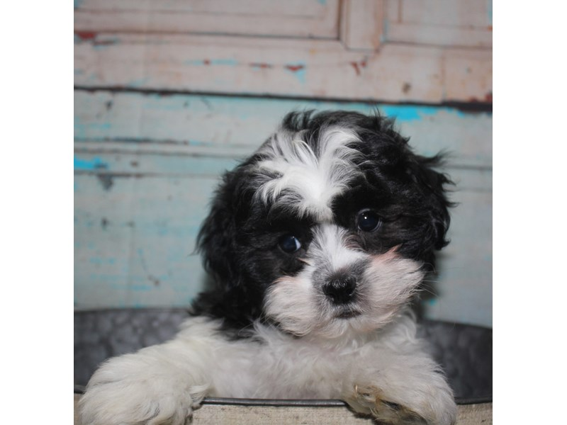 Shihpoo-Male-BLK & WHT-2681495-Pet City Houston