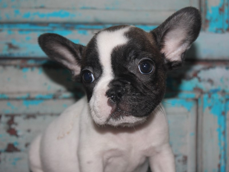 French Bulldog-Female-PIEBALD-2682114-Pet City Houston