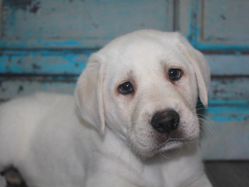 Labrador Retriever-Male-YELLOW-2681439-Pet City Houston