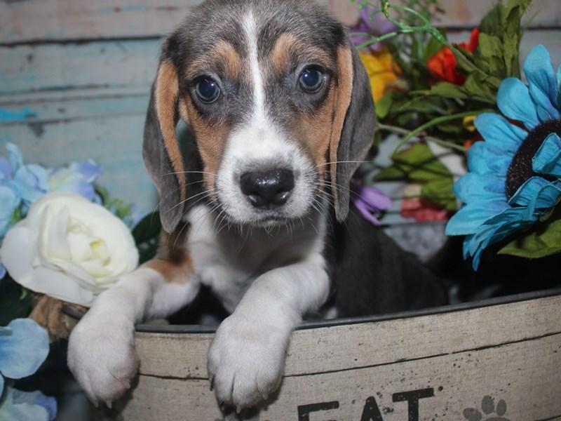 Beagle-Female-BLUE TRI-2688484-Pet City Houston