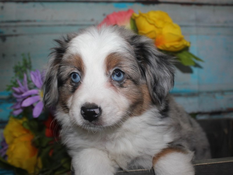 Miniature Australian Shepherd-Male-BLU MERLE-2688433-Pet City Houston