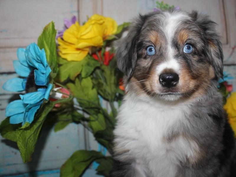 Miniature Australian Shepherd-Male-BLU MERLE-2688420-Pet City Houston