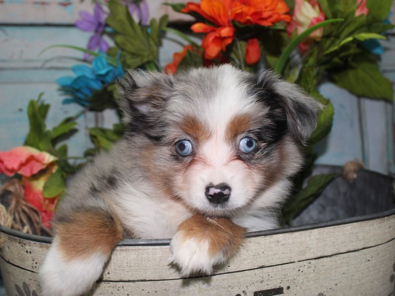 Miniature Australian Shepherd-Female-BLU MERLE-2688337-Pet City Houston