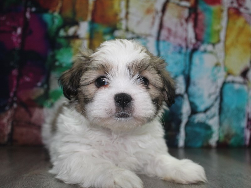 Shih Tzu-Male-Tri-2692911-Pet City Houston