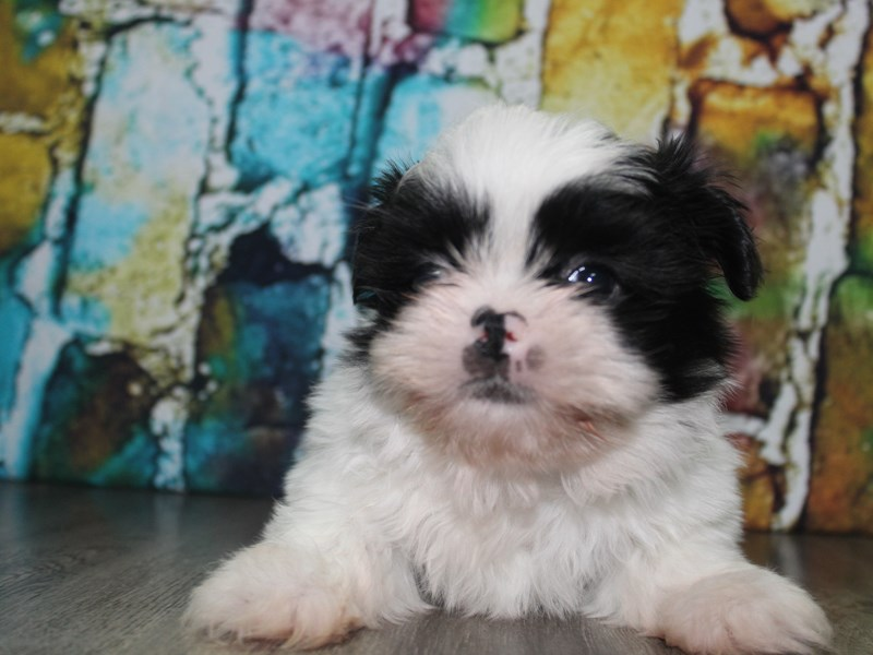 Shih Tzu-Male-BLK/WHITE-2692907-Pet City Houston