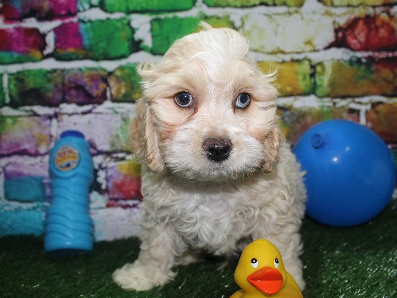 Cockapoo-Male-BUFF WHT MKGS-2695003-Pet City Houston