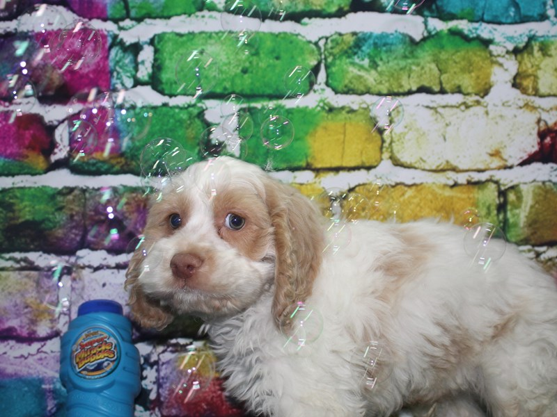 Cockapoo-Male-BUFF & WHITE-2695008-Pet City Houston
