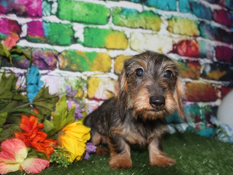 Dachshund-Female-WILD BOAR-2693053-Pet City Houston
