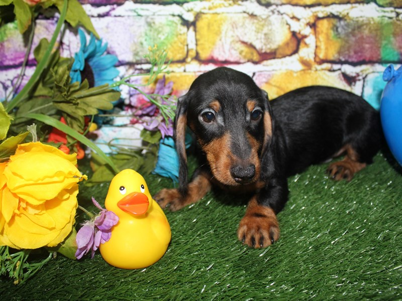 Dachshund-Male-BLK/TAN-2693058-Pet City Houston