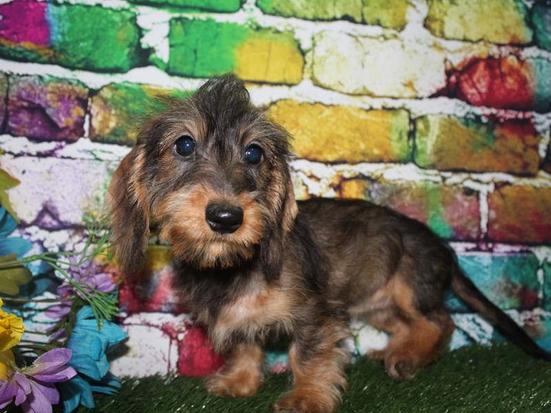 Dachshund-Female-WILD BOAR-2693062-Pet City Houston
