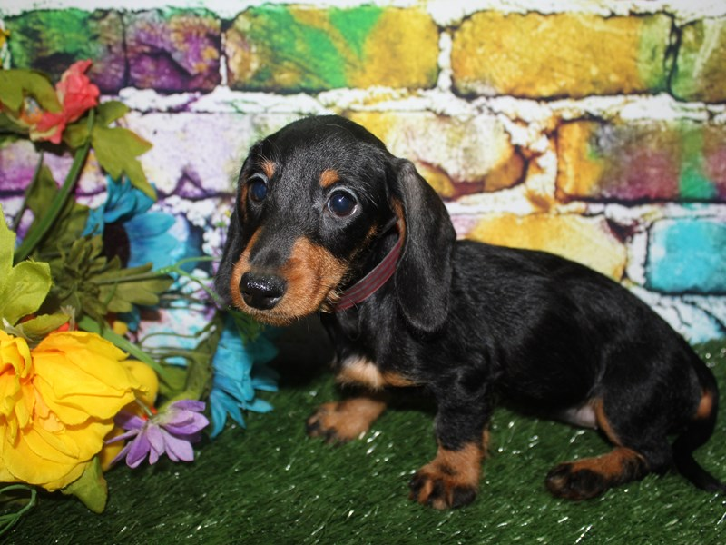 Dachshund-Female-WILD BOAR-2693061-Pet City Houston