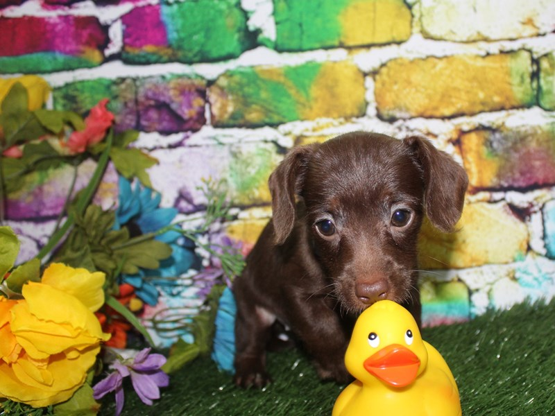 Doxie-Poo-Female-CHOC-2694983-Pet City Houston