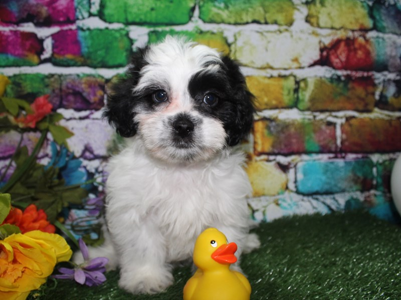 Lhasa Poo-Male-BLK WHT PARTI-2694985-Pet City Houston
