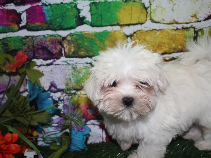 Maltese-Male-WHITE-2692870-Pet City Houston