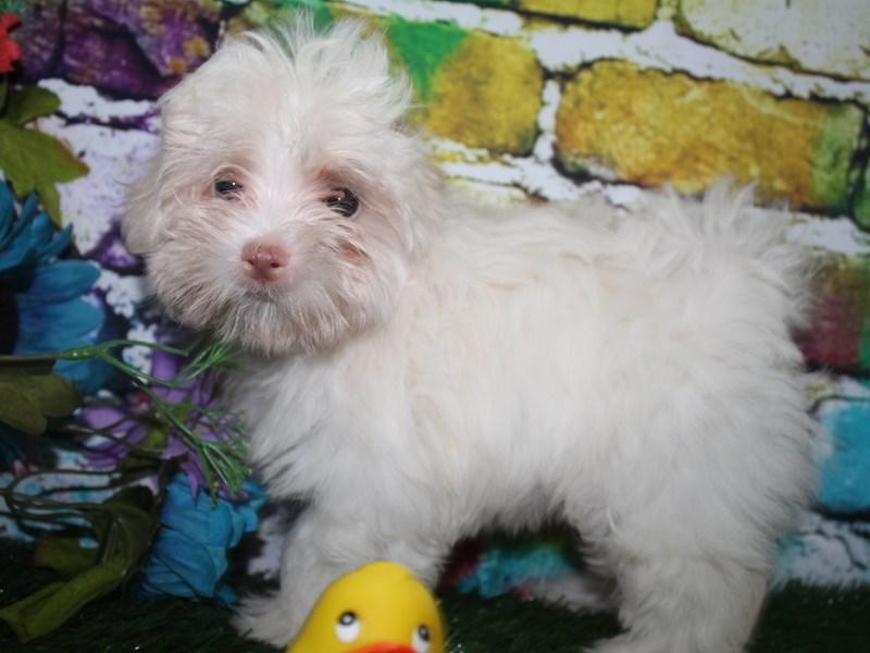 Maltese-Male-WHITE-2692871-Pet City Houston