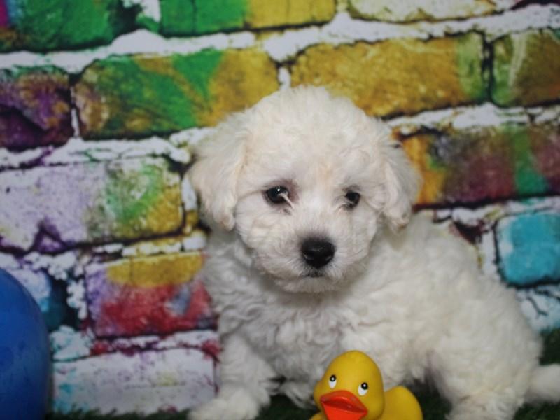 Bichon Frise-Male-WHITE-2701675-Pet City Houston