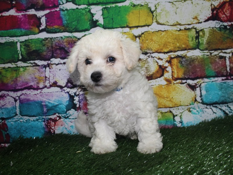 Bichon Frise-Male-WHITE-2701673-Pet City Houston