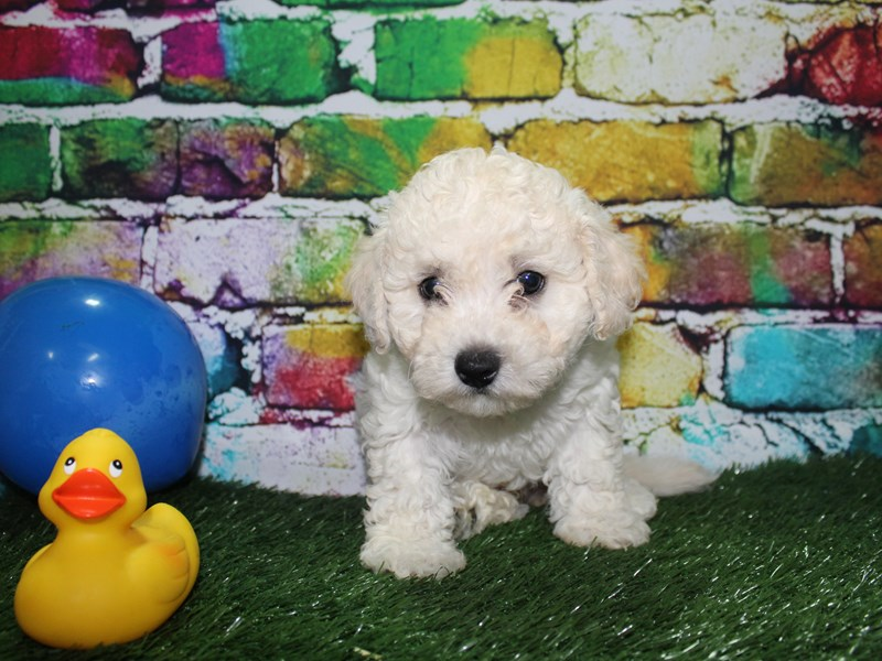 Bichon Frise-Male-WHITE-2701681-Pet City Houston